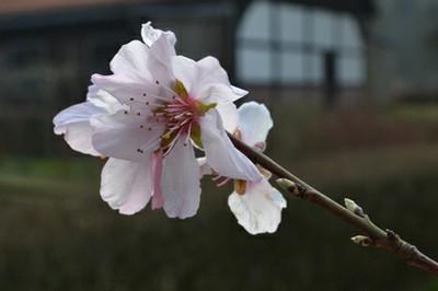 Pfirsichblüte-72.jpg