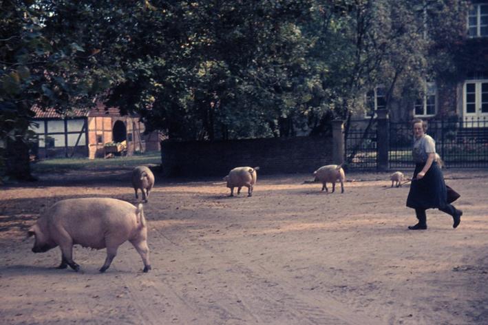 Schweineauftrieb.jpg